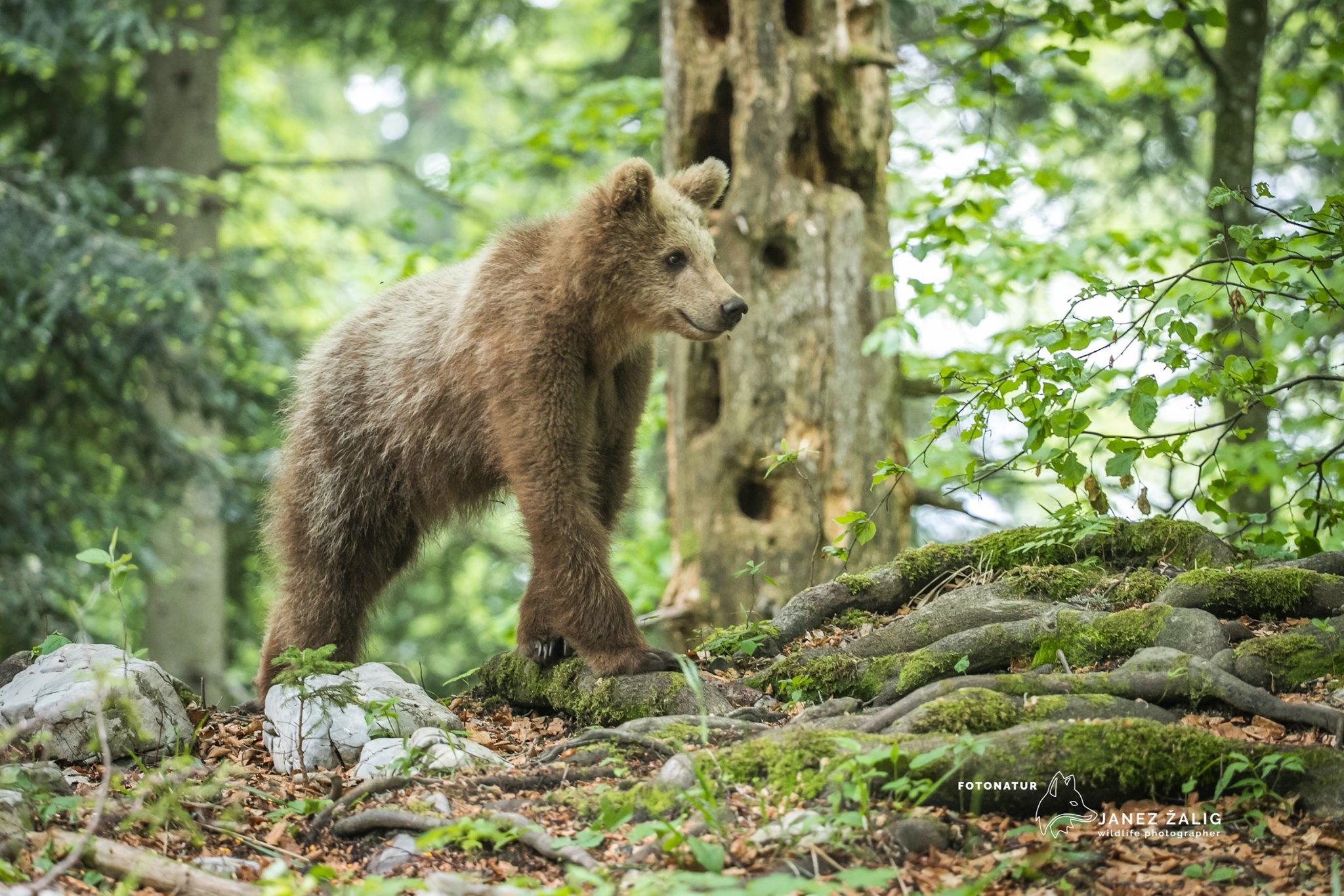 Brown Bear photography tour in Slovenia