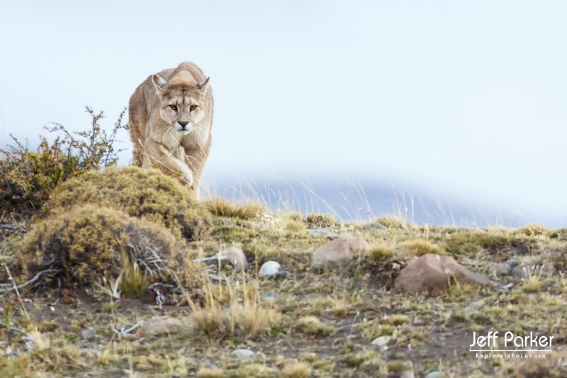 Pumas and Peaks of Patagonia Wildlife Photography Tour